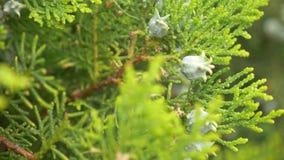 Platycladus is a distinct genus of evergreen coniferous tree in the cypress family Cupressaceae. immature cones of biota stock video footage