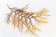 Platycladus leaves specimen Royalty Free Stock Photos