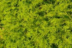 Platycladus-orientalis alias chinesischer Thuja, orientalischer Arborvitae lizenzfreie stockbilder