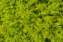 Platycladus orientalis also known as Chinese thuja, Oriental arborvitae Royalty Free Stock Images