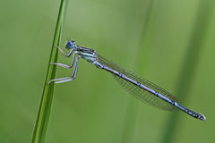 Platycnemis pennipes. Male White-legged Damselfly (Platycnemis pennipes Royalty Free Stock Photo