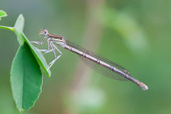 Platycnemis pennipes female Royalty Free Stock Images