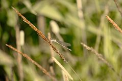 Platycnemis pennipes mannetje royalty-vrije stock fotografie