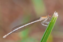 Platycnemis pennipes Royalty Free Stock Images