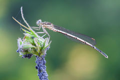 Platycnemis pennipes Royalty Free Stock Photography