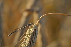 Platycnemis pennipes on a wheat ear. Macro photo of a small dragonfly Royalty Free Stock Photo