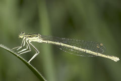 Platycnemis pennipes / White-legged Damselfly, female close-up Stock Photos