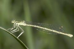 Platycnemis pennipes / White-legged Damselfly, female close-up. Platycnemis pennipes / White-legged Damselfly, female Stock Photos