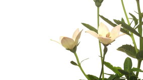 Platycodon Flower Time-lapse stock video
