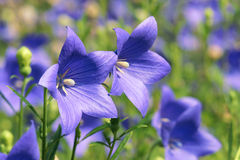 Platycodon gradiflorus Royalty Free Stock Photos