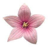 被隔绝的桃红色Platycodon grandiflorus花 免版税库存图片