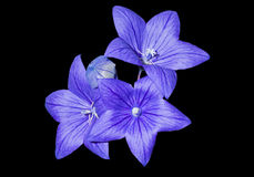 platycodon grandiflorus 6 голубое цветков Стоковые Изображения RF