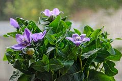 Platycodon grandiflorus astra blue, balloon flower with buds and green leafs Stock Photography