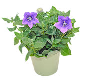 Platycodon grandiflorus astra blue, balloon flower with buds. And green leafs, isolated Royalty Free Stock Photography