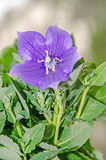 Platycodon grandiflorus astra blue, balloon flower with buds. And green leafs, isolated Stock Photography