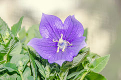 Platycodon grandiflorus astra blue, balloon flower with buds and. Green leafs, isolated Royalty Free Stock Photos