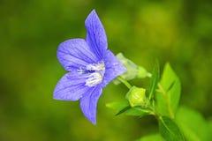 Platycodon grandiflorus, Chinese bellflower Royalty Free Stock Photo