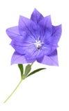 Platycodon grandiflorus flower Royalty Free Stock Image