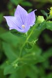 Platycodon grandiflorus Royalty Free Stock Photo