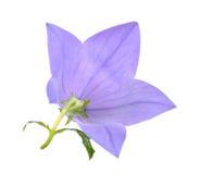 Platycodon grandiflorus flowers Stock Image