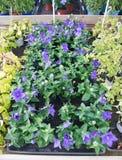 Platycodon grandiflorus purple bellflowers. Closeup in plant nursery, Mallorca in January Royalty Free Stock Photography