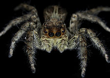 Platycryptus Undatus (αρσενική αράχνη της Tan) στοκ φωτογραφία με δικαίωμα ελεύθερης χρήσης