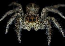 Platycryptus Undatus (男性Tan蜘蛛) 免版税图库摄影
