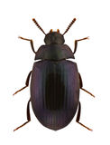 Platydema violaceum. Darkling beetle, isolated on a white background royalty free stock photos
