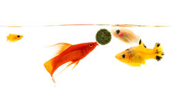 Platyfish and Swodtail fish Royalty Free Stock Image