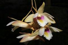 Platygastrium de Dendrobium Photographie stock libre de droits
