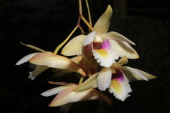 Platygastrium Dendrobium Στοκ φωτογραφία με δικαίωμα ελεύθερης χρήσης