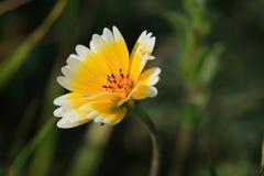 Platyglossa för kust- Tidytip Layia gul blomma royaltyfria bilder
