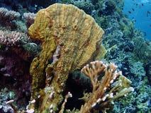 Platyphylla de Millepora Fotos de Stock Royalty Free