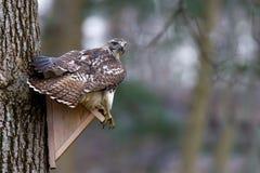 Platypterus de Broadwinged Hawk Buteo Fotografía de archivo libre de regalías