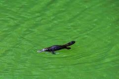Platypus在阿瑟顿平原,澳大利亚 库存图片