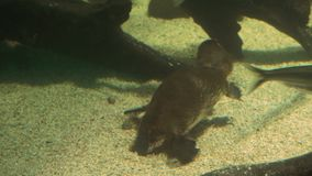Platypus σίτισης φιλμ μικρού μήκους