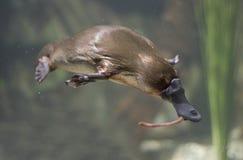 platypus стоковые фотографии rf