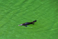 Platypus in Atherton Tablelands, Australia stock images
