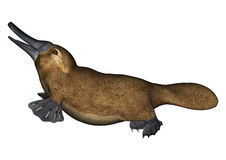 Platypus. 3D digital render of a semi-aquatic mammal native to eastern Australia platypus isolated on white background Royalty Free Stock Photo