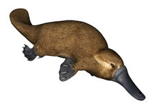 Platypus. 3D digital render of a semi-aquatic mammal native to eastern Australia platypus isolated on white background Royalty Free Stock Image