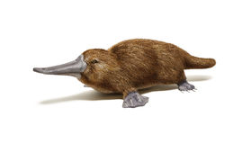 Platypus duck-billed animal. On white background with drop shadow Royalty Free Stock Images