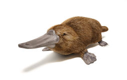 Platypus duck-billed animal. On white background with drop shadow Stock Photos