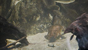 Platypus feeding. A platypus hunts for food in the gravel of a riverbed stock video