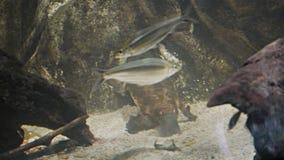Platypus feeding stock video
