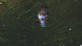 Platypus nurkuje dla jedzenia 04 zbiory wideo