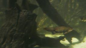 Platypus podwodny zbiory