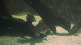 Platypus surfacing stock video