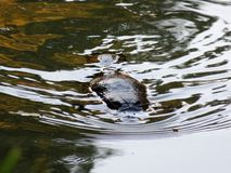 Platypus swimming in river royalty free stock photos