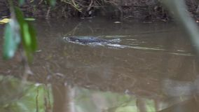 Platypus swimming stock footage  Video of nature, claws