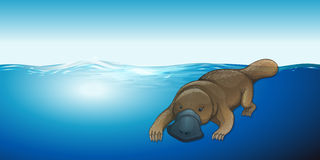Platypus swimming in the sea Stock Photos